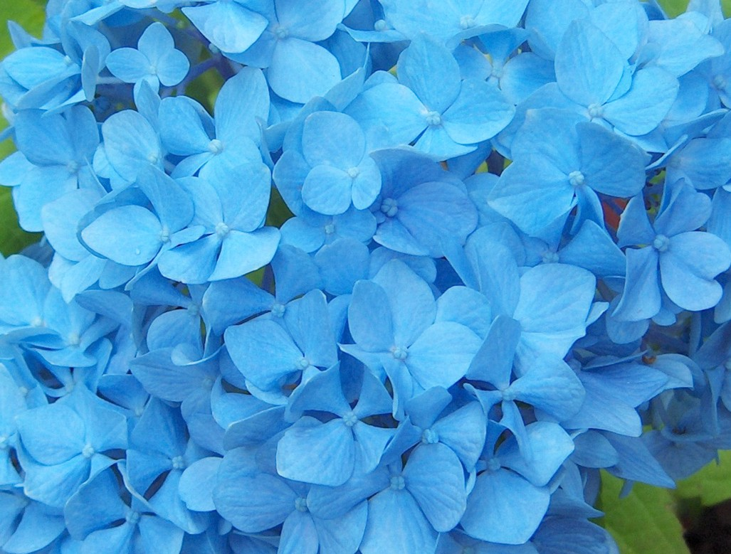 Types Of Hydrangea Flowers Blue